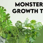 Monstera growth tips